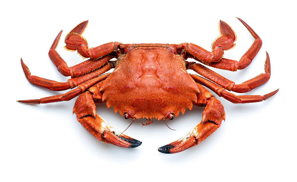 cooked spanish necora crab,atlantic crab isolated